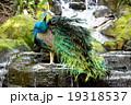 滝と孔雀 19318537