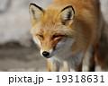 キタキツネ きつね キツネの写真 19318631