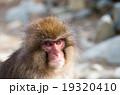 Snow monkey,nagano,japan(長野県地獄谷野猿公園の雪猿スノーモンキー) 19320410