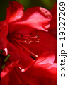 花 蕊 サツキの写真 19327269