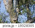 エゾフクロウ 19328305