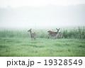 鹿 エゾシカ 朝もやの写真 19328549
