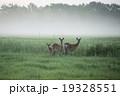 鹿 朝もや 草原の写真 19328551