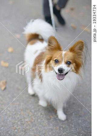パピヨン パピオン 犬 ペット 散歩イメージ 19334734