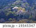 山桜 19345347