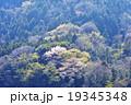 山桜 19345348
