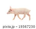 ぶた ブタ 豚の写真 19367230