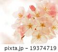 可愛い桜 19374719