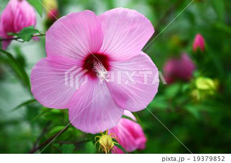 アメリカフヨウ 桃色の花 19379852