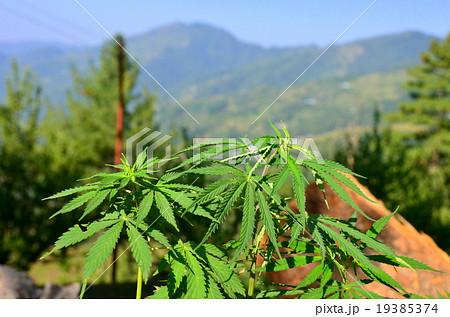 インド ヒマラヤ山脈の自生の大麻 19385374
