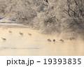 鶴居村 タンチョウ 冬の写真 19393835