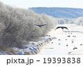 鶴居村 タンチョウ 冬の写真 19393838