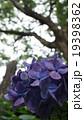 密林の紫陽花 19398362