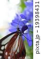 青い花と蝶 19398431