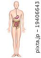 人体解剖図ver2(胃・小腸・大腸・X線なし) 19406643