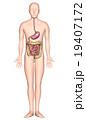 人体解剖図ver2(胃・小腸・大腸・X線なし) 19407172