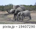 ゾウの家族 19407290