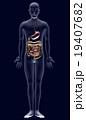 人体解剖図ver2(胃・小腸・大腸) 19407682