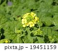 ナバナ 花 早咲きの写真 19451159