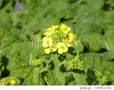 ミツバチが飛んできた早咲きの黄色いナバナ 19451159
