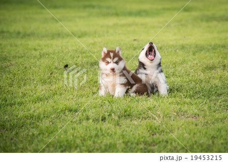 Two Cute siberian husky puppy sitting and looking