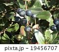 冬が来て熟したシャリンバイの実 19456707