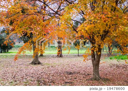 見沼自然公園の紅葉 19478600