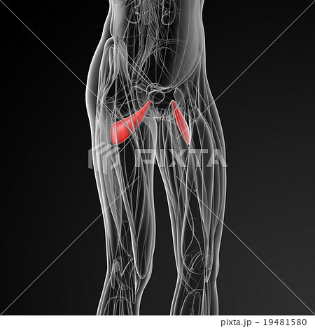 medical  illustration of the abductor brevis  19481580