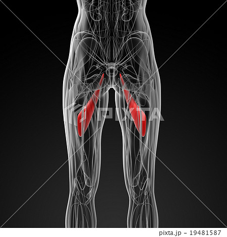 medical  illustration of the abductor longus 19481587