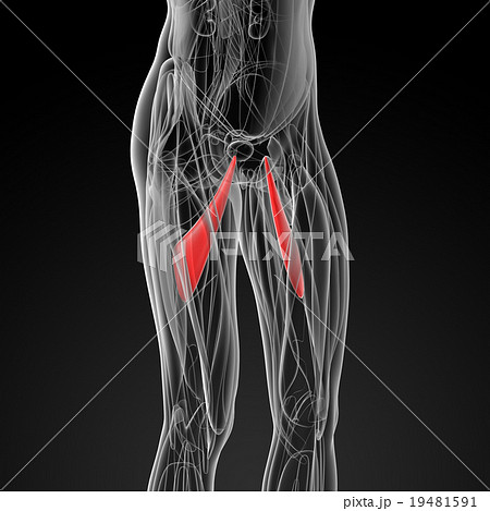 medical  illustration of the abductor longus 19481591
