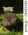 彼岸花 白花彼岸花 白花曼珠沙華の写真 19485486