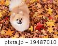 犬 ポメラニアン 落ち葉の写真 19487010
