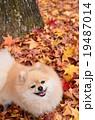 犬 ポメラニアン 落ち葉の写真 19487014