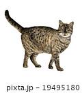 ねこ ネコ 猫のイラスト 19495180