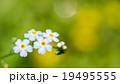 ワスレナグサ 19495555