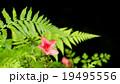 シダ 花 葉の写真 19495556