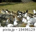 稲毛海浜公園に飛来したユリカモメとオナガガモ 19496129