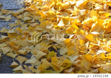 道端に積もったイチョウの葉(愛知県犬山市) 19502198