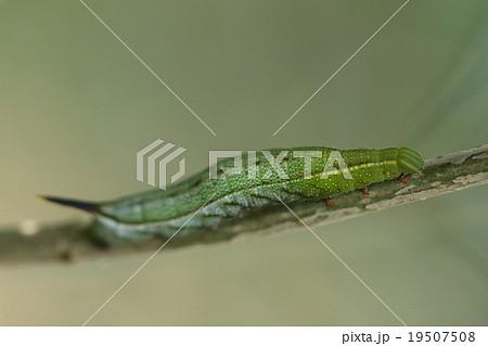 生き物 昆虫 ホシホウジャク、幼虫です。しっぽのトゲは見掛け倒し、こわくはありません 19507508