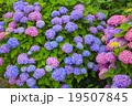 紫陽花 アジサイ科 植物の写真 19507845