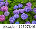 紫陽花 アジサイ科 植物の写真 19507846