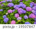 紫陽花 アジサイ科 植物の写真 19507847