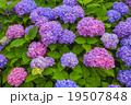 紫陽花 アジサイ科 植物の写真 19507848