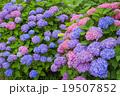 紫陽花 アジサイ科 植物の写真 19507852