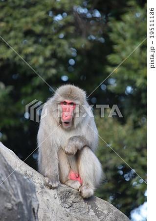 上野動物園の猿<ニホンザル>:あくび?威嚇?それともビックリ? 19511186