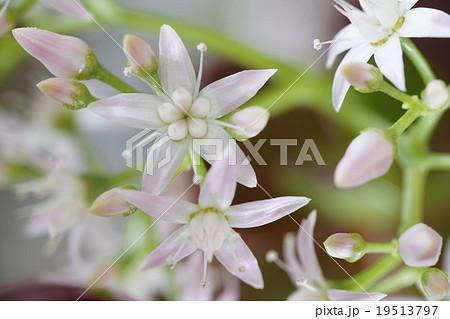 多肉植物,金の成る木に咲いたピンクの小さな星形で可愛らしい冬の花19513797