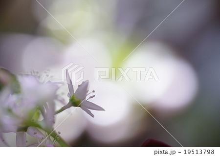 多肉植物Succulent plants激レア金の成る木に咲いたピンクの小さな星形で可愛らしい冬の花,玉ボケに背景に浮かび上がる19513798