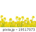 菜の花 19517073