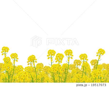 菜の花のイラスト素材 19517073 Pixta