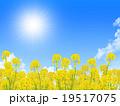 菜の花畑 19517075